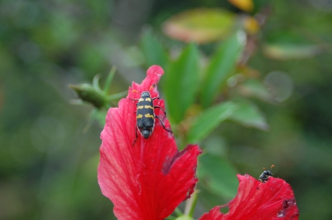 Beetles about...insects of Arua